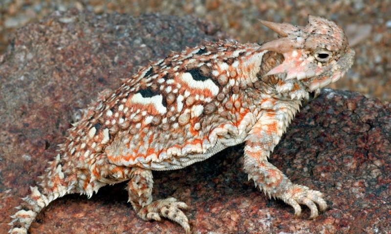 Comportamiento del lagarto cornudo