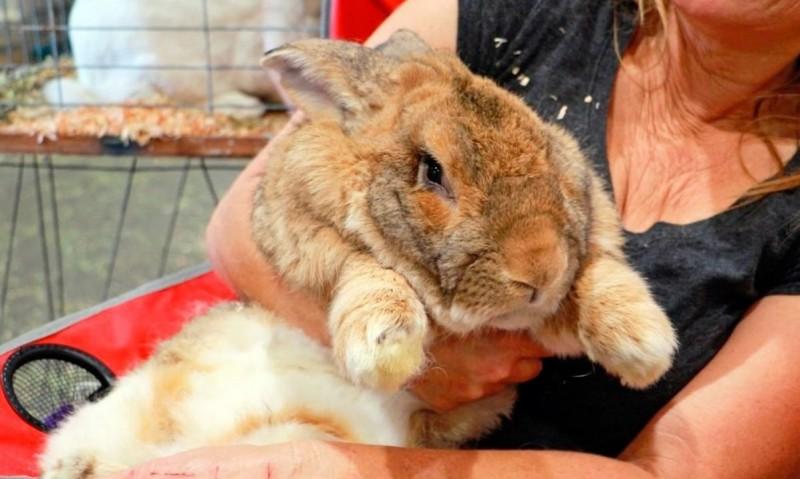 Conejo gigante de Flandes