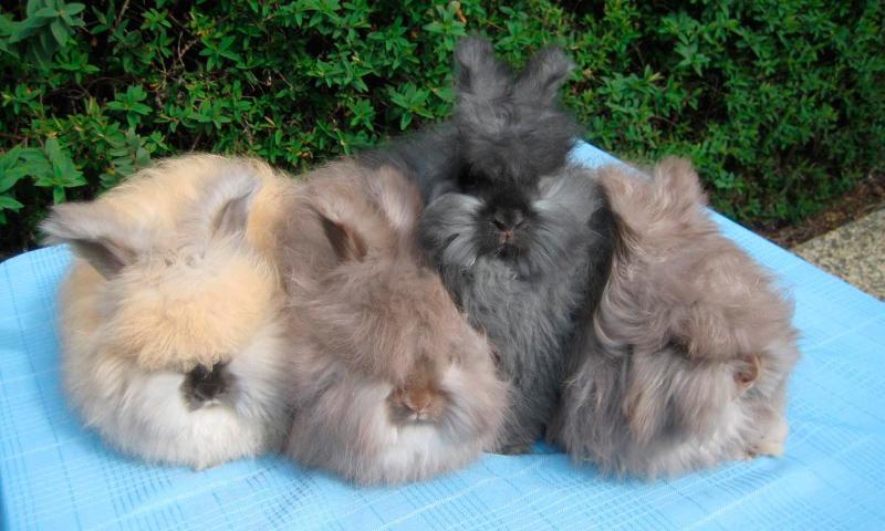 Conejos angora, guía básica