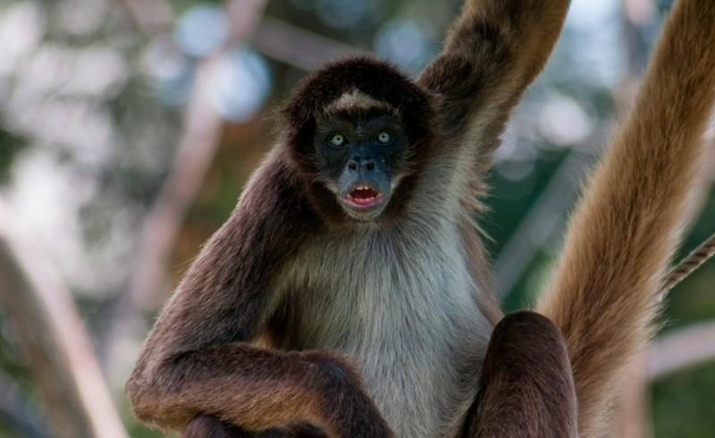 Conservación de los monos araña