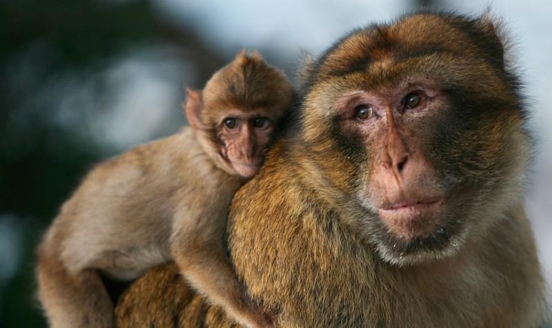Conservación de los monos de Gibraltar