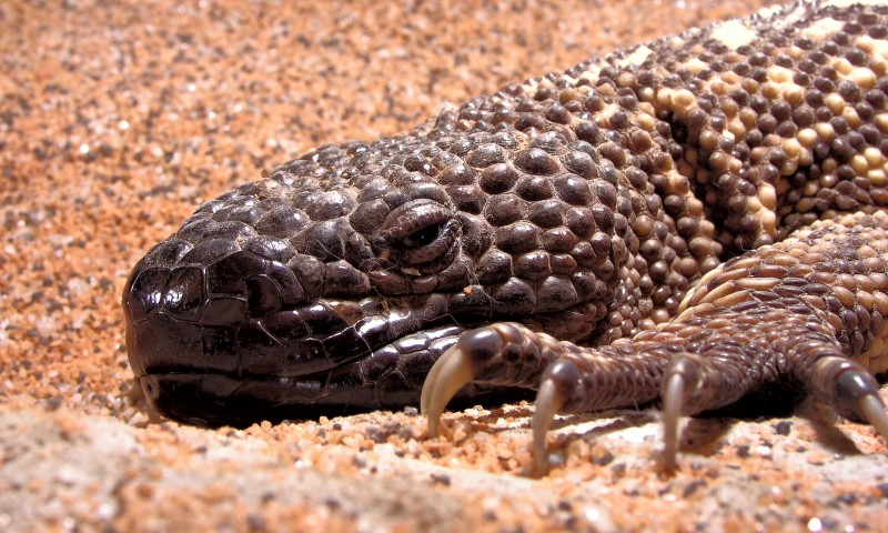 Conservación del lagarto enchaquirado
