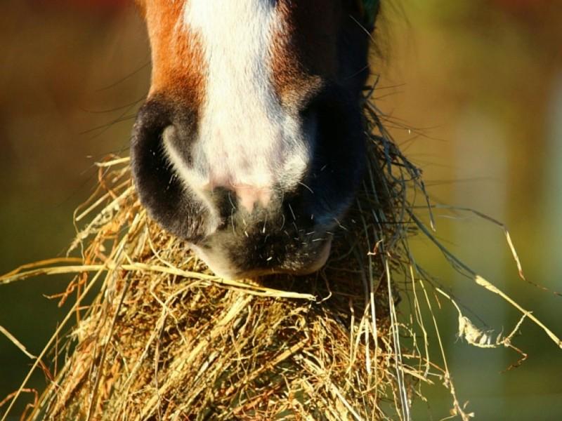 Cuánto comen los caballos