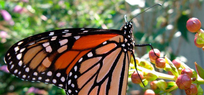 Cuerpo de las mariposas