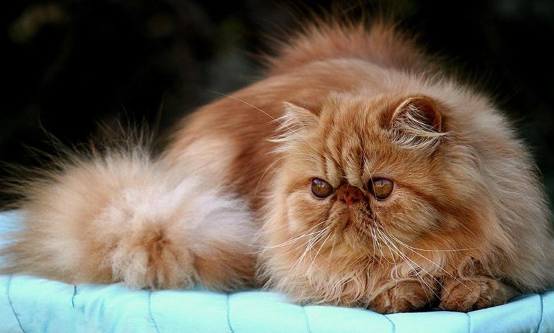 Cuidado de los gatos persas