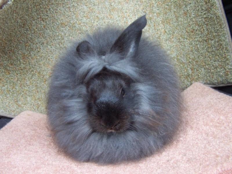 Cuidados de los conejos angora
