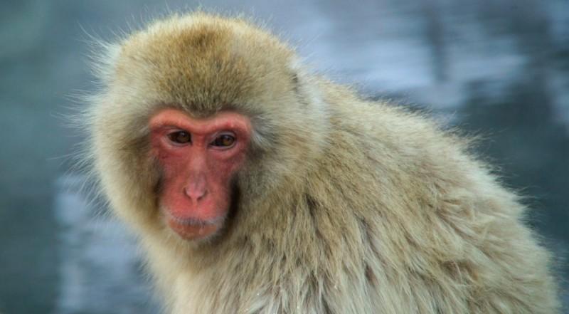 Depredadores y amenazas del macaco japonés