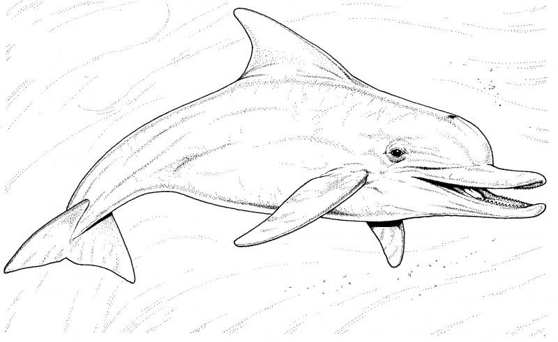 Dibujo Delfin Para Colorear E Imprimir: Dibujos De DELFINES (Para Colorear Y Pintar