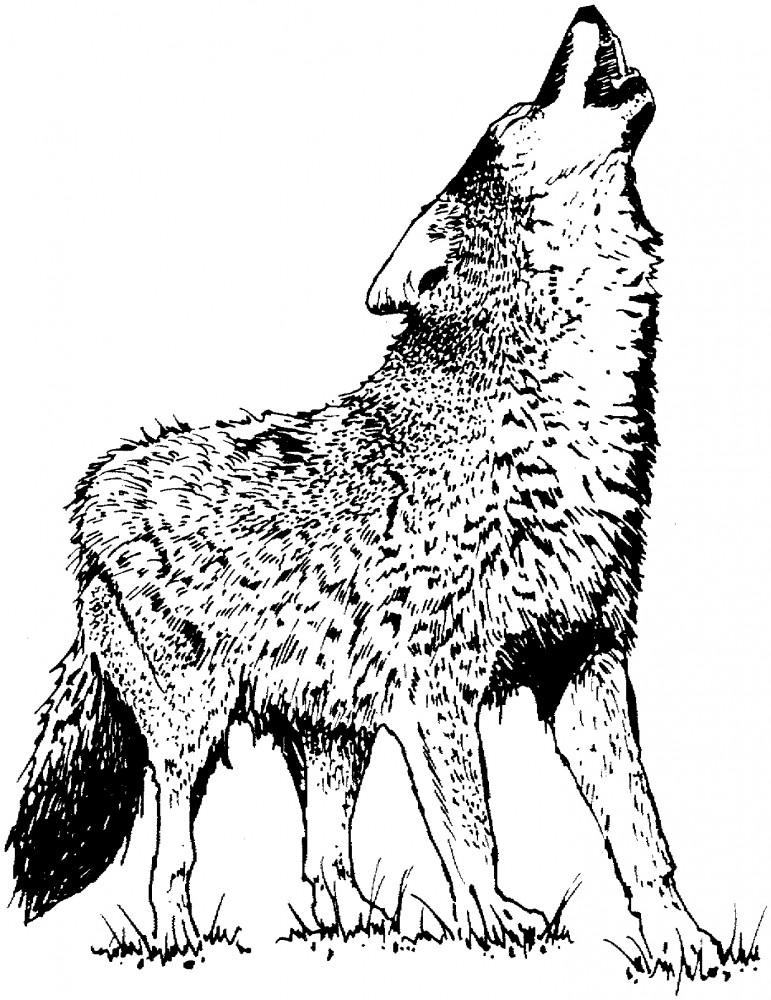 Dibujos De Lobos Para Colorear Y Pintar