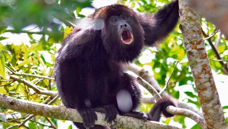 Dieta de los monos aulladores