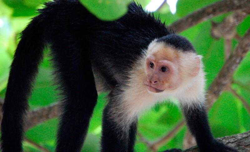 Dieta de los monos capuchinos