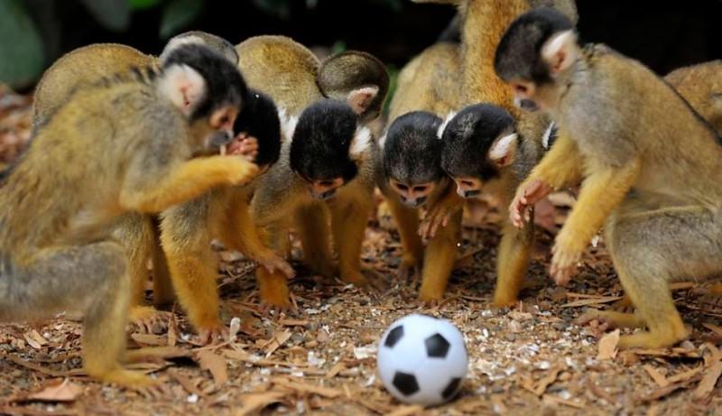 Dieta y alimentación de los monos ardilla