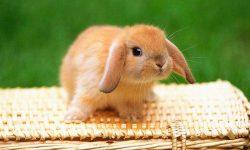 Domesticación del conejo