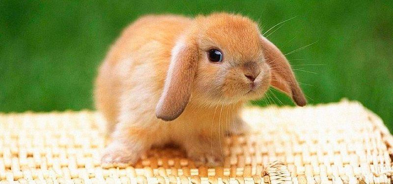 Domesticación de conejos