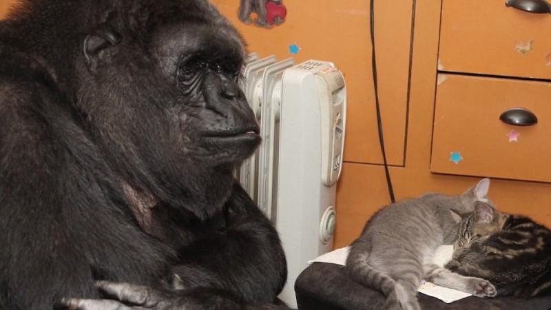 Dónde vive la gorila Koko