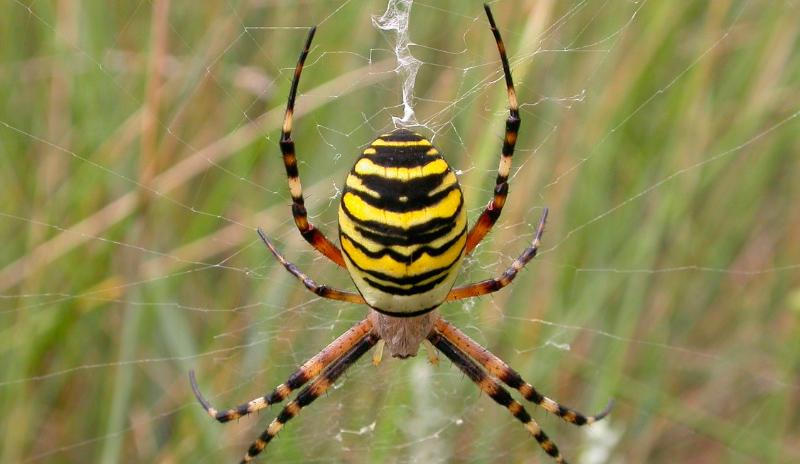 Dónde viven las arañas tigre