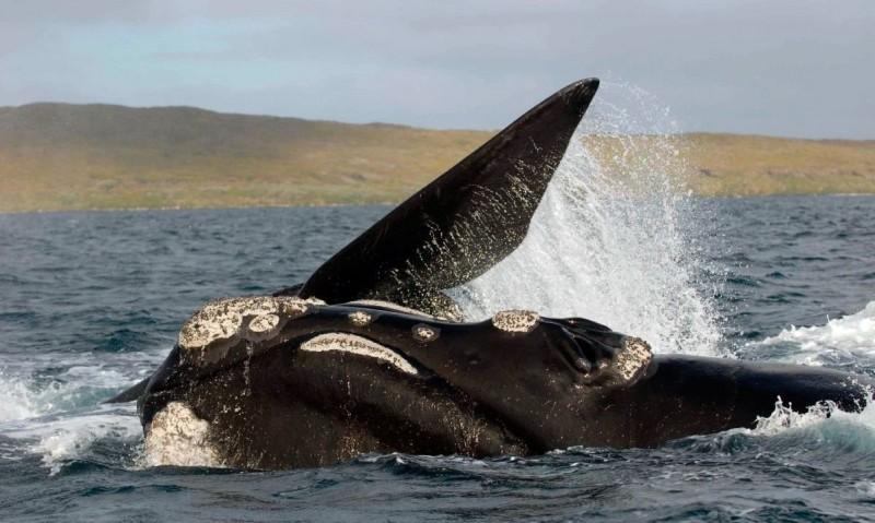 Dónde viven las ballenas francas