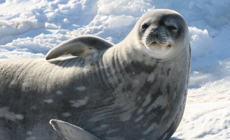 Dónde viven las focas de Weddell