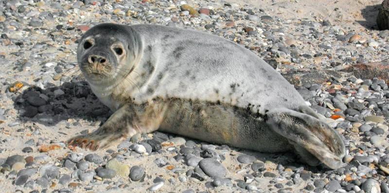 Dónde viven las focas grises