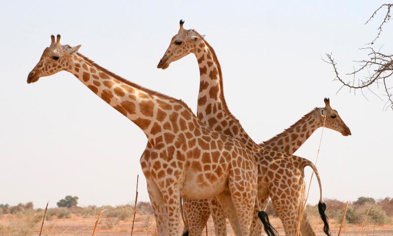 Dónde viven las jirafas de África Occidental