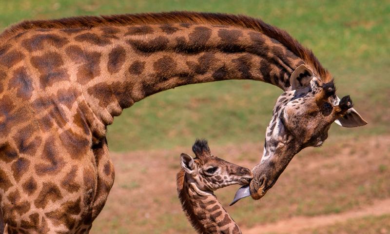 Dónde viven las jirafas Masai