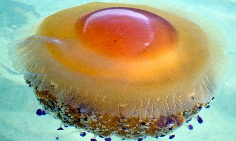 Dónde viven las medusas huevo frito