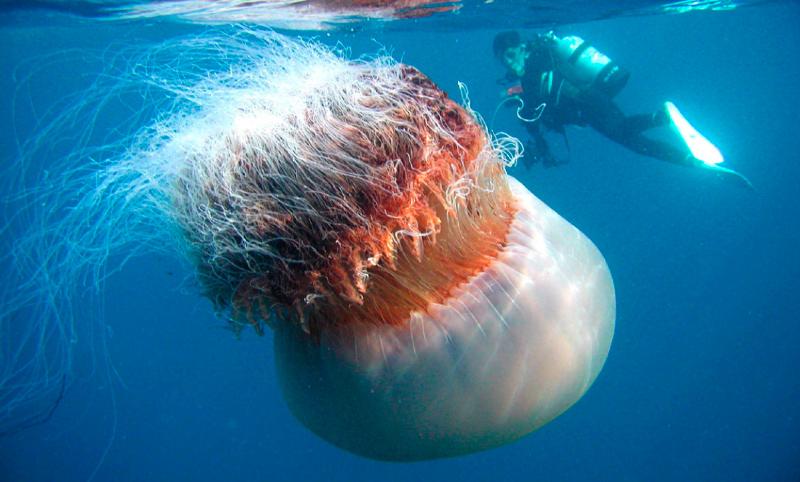 Dónde viven las medusas nomura