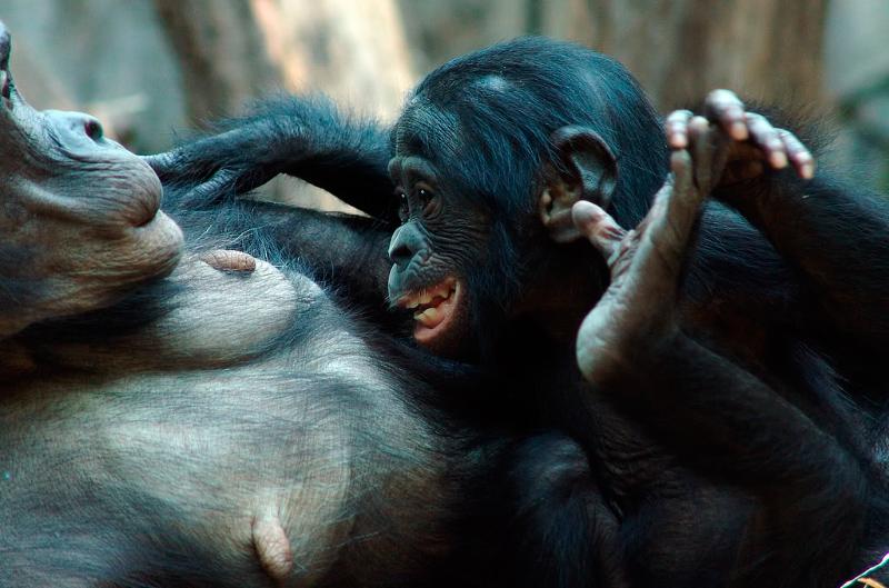 ¿Dónde viven los bonobos?