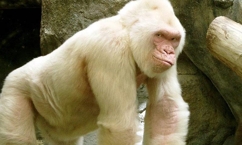Dónde viven los gorilas albinos