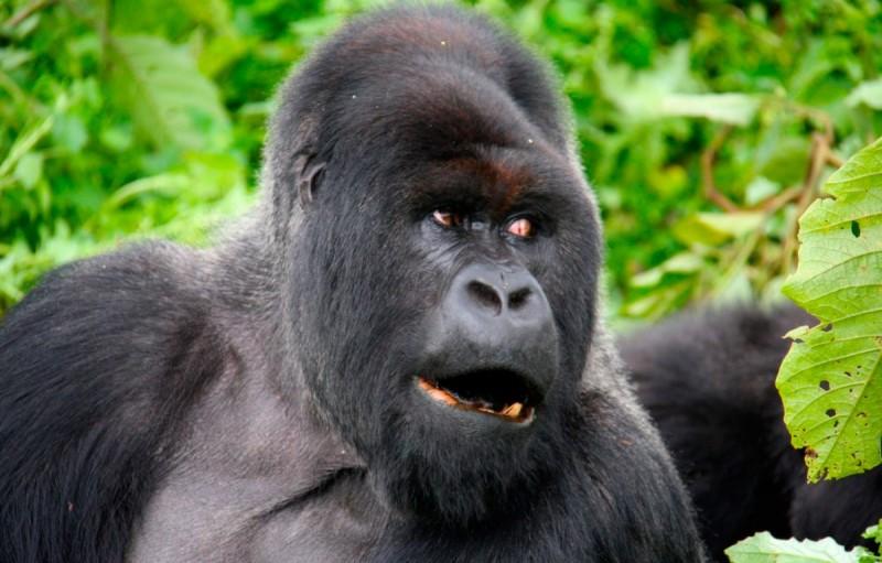 Dónde viven los gorilas de lomo plateado