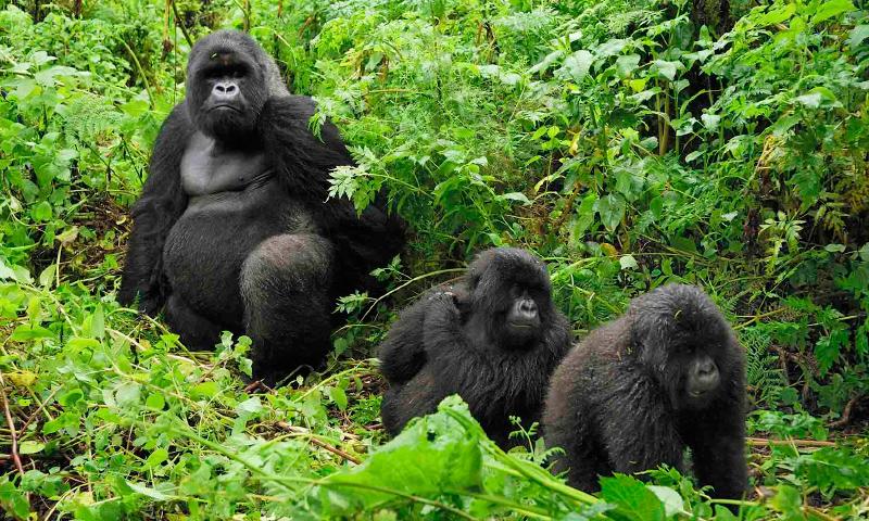 Dónde viven los gorilas de montaña