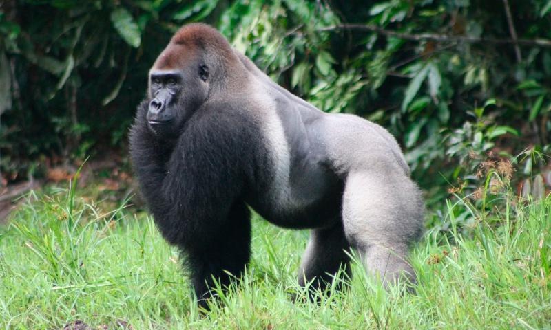 Dónde viven los gorilas occidentales