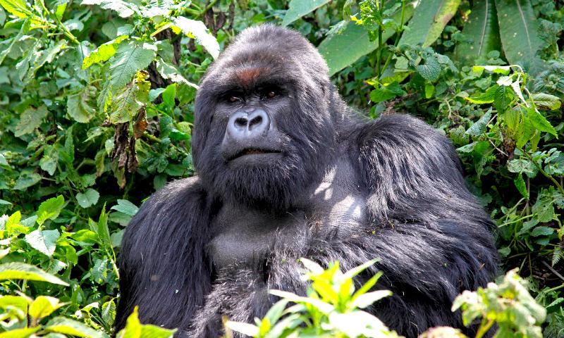 Dónde viven los gorilas orientales