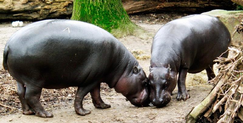 Dónde viven los hipopótamos pigmeos