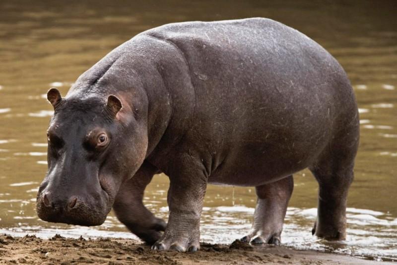 Hipop tamo caracter sticas tipos qu comen d nde viven for El hipopotamo muebles