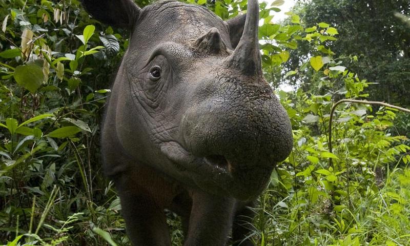 Dónde viven los rinocerontes de Sumatra