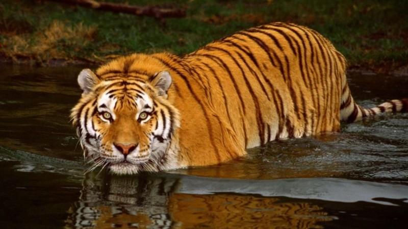 ¿Dónde viven los tigres bengala