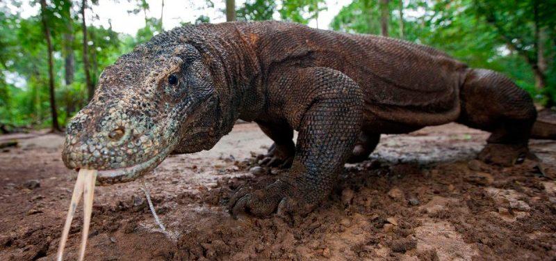 Dragón De Komodo Características Qué Come Dónde Vive