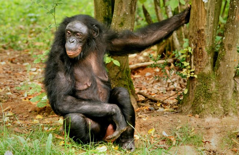 El carácter del Bonobo