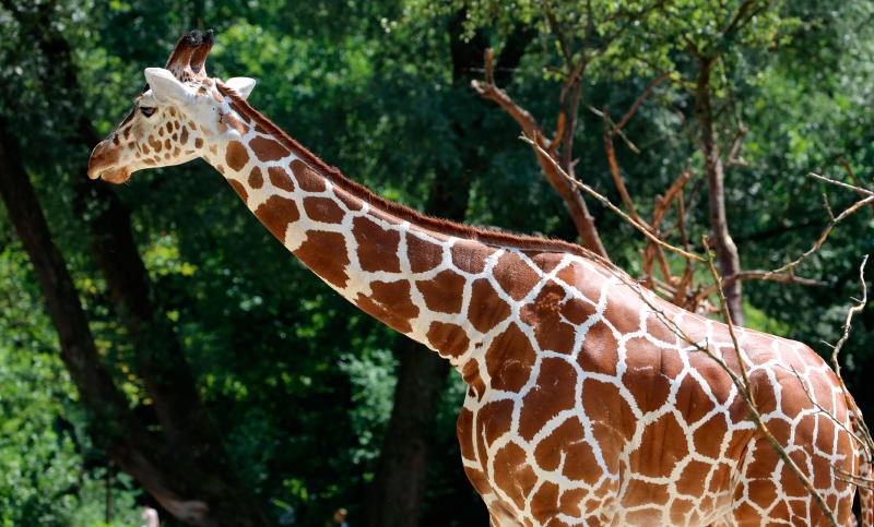 El cuello de la jirafa somalí