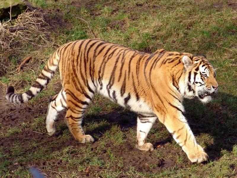 ¿El tigre siberiano en peligro de extinción?