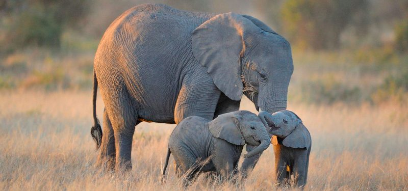 Elefante cu nto pesan d nde viven qu comen tipos de - Fotos de elefantes bebes ...