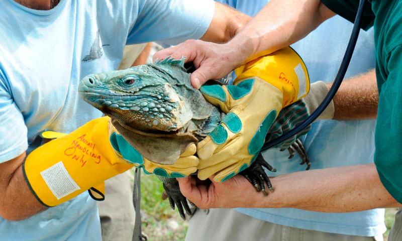 Enfermedades comunes en las iguanas