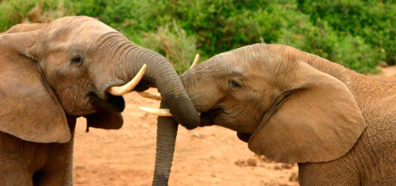 Especies de elefantes