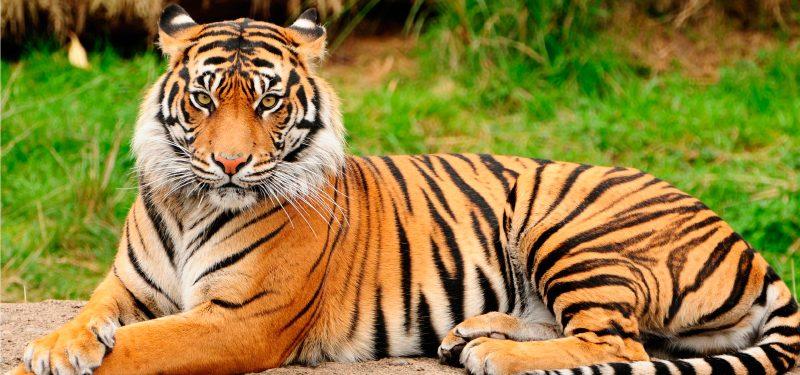 Especies extintas de tigres