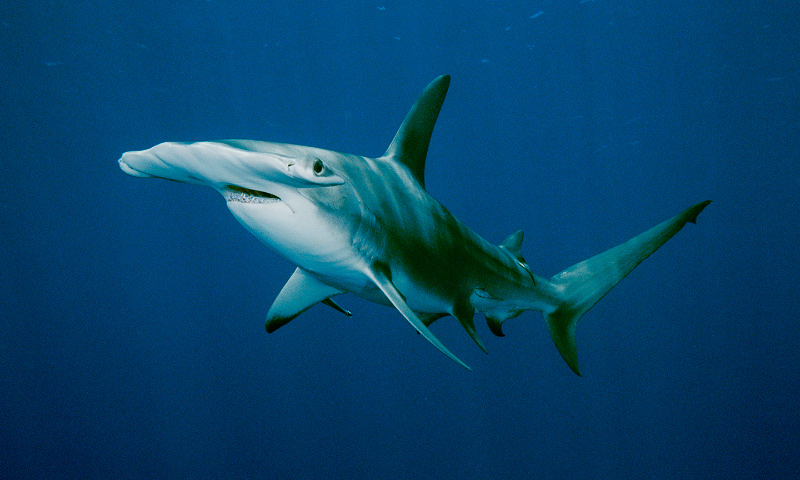 Especies de tiburones