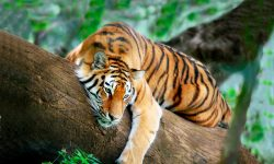 Especies de tigres