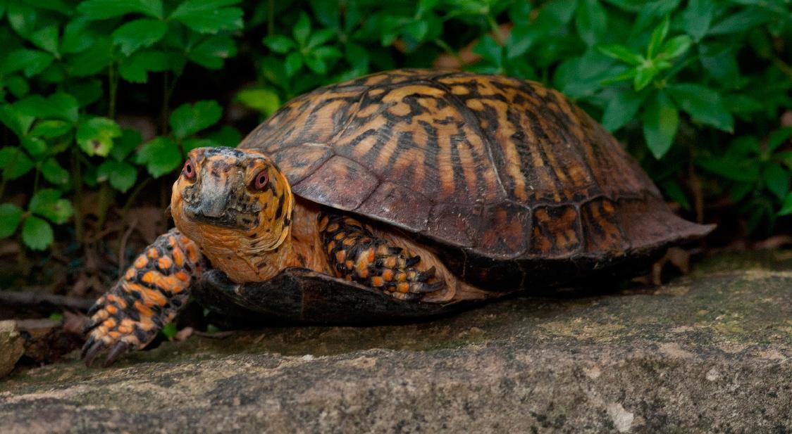 Tortugas Terrestres Características Qué Come Dónde Vive