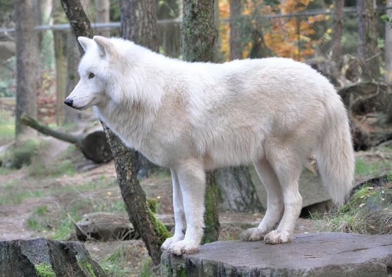 Estado de conservación del lobo blanco