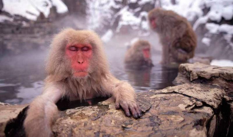 Estado de conservación del macaco japonés